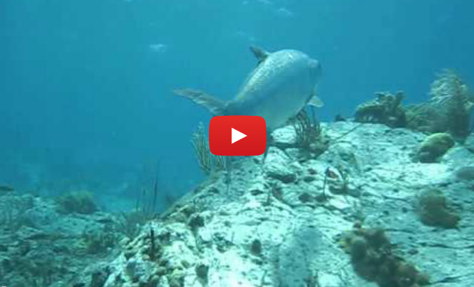 Tarpon Video shot by Patagon Scuba Dive Center