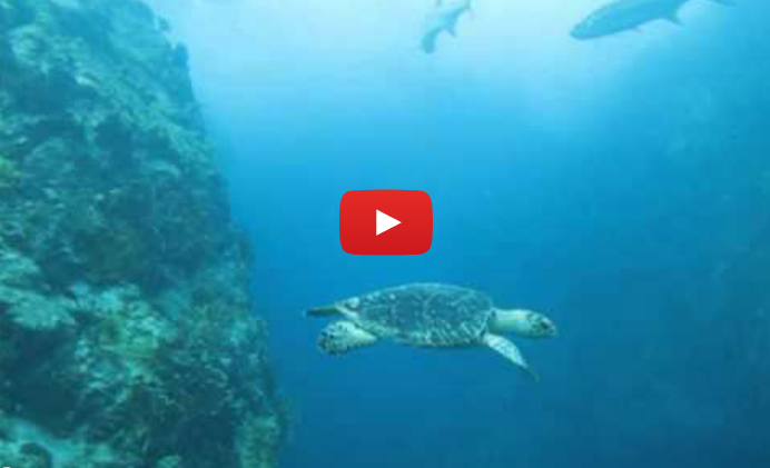 Tarpon Baracude Video shot by Patagon Scuba Dive Center