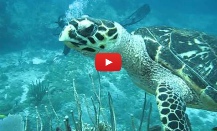 Turtle Video shot by Patagon Scuba Dive Center
